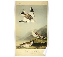 James Audubon Vector Rebuild - The Birds of America - From Drawings Made in the United States and Their Territories V 1-7 1840 - Snow Lark Bunting Poster