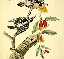 James Audubon Vector Rebuild - The Birds of America - From Drawings Made in the United States and Their Territories V 1-7 1840 - Downy Woodpecker by wetdryvac