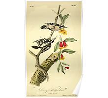 James Audubon Vector Rebuild - The Birds of America - From Drawings Made in the United States and Their Territories V 1-7 1840 - Downy Woodpecker Poster