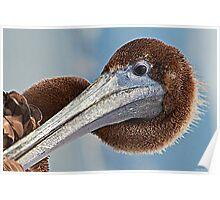 Pelican Head Portrait Poster