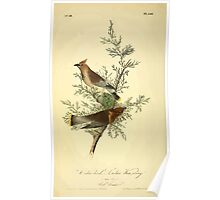 James Audubon Vector Rebuild - The Birds of America - From Drawings Made in the United States and Their Territories V 1-7 1840 - Cedar Bird or Cedar Waxwing Poster