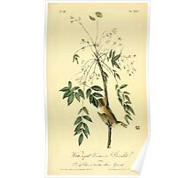 James Audubon Vector Rebuild - The Birds of America - From Drawings Made in the United States and Their Territories V 1-7 1840 - White Eyed Vireo or Greenlet Poster