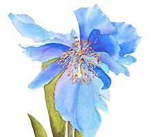 Blue Poppy Extraordinaire by Pat Yager