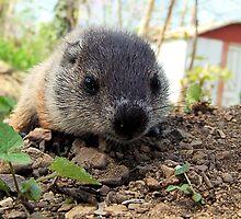 wandering groundhog cub by mstinak