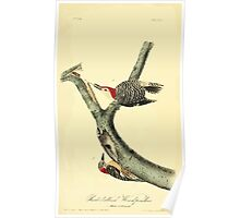 James Audubon Vector Rebuild - The Birds of America - From Drawings Made in the United States and Their Territories V 1-7 1840 - Red Bellied Woodpecker Poster