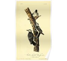 James Audubon Vector Rebuild - The Birds of America - From Drawings Made in the United States and Their Territories V 1-7 1840 - Red Cokaded Woodpecker Poster
