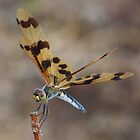 Brown Wing Dragonfly by Karen Stackpole