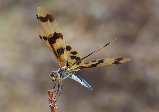Brown Wing Dragonfly - Kakaud, Nothern territory by Karen Stackpole