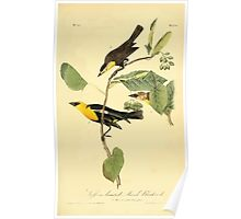 James Audubon Vector Rebuild - The Birds of America - From Drawings Made in the United States and Their Territories V 1-7 1840 - Saffron Headed Marsh Blackbird Poster