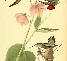 James Audubon Vector Rebuild - The Birds of America - From Drawings Made in the United States and Their Territories V 1-7 1840 - Anna Hummingbird by wetdryvac