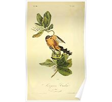 James Audubon Vector Rebuild - The Birds of America - From Drawings Made in the United States and Their Territories V 1-7 1840 - Mangrove Cuckoo Poster