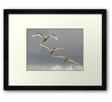 Three Swans a Flying Framed Print