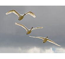 Three Swans a Flying Photographic Print