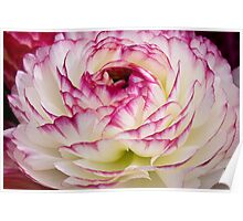 White and Pink Ranunculus Poster