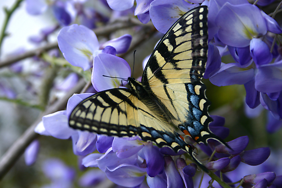 Wysterious Swallowtail by JohnGo