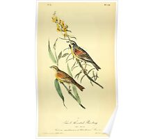 James Audubon Vector Rebuild - The Birds of America - From Drawings Made in the United States and Their Territories V 1-7 1840 - Black Throated Bunting Poster