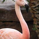 Chilean Flamingo by Trish Meyer