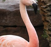 Chilean Flamingo by Trish Meyer
