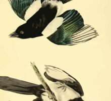 James Audubon Vector Rebuild - The Birds of America - From Drawings Made in the United States and Their Territories V 1-7 1840 - Common Magpie Sticker