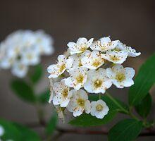 Bridal's Wreath by BonnieColeman