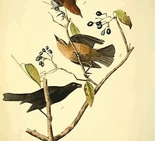 James Audubon Vector Rebuild - The Birds of America - From Drawings Made in the United States and Their Territories V 1-7 1840 - Rusty Crow Blackbird by wetdryvac