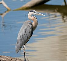 Great Blue Heron (Ardea herodias) by JimGuy