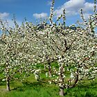 Apple Orchard  by AnnDixon