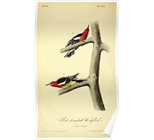 James Audubon Vector Rebuild - The Birds of America - From Drawings Made in the United States and Their Territories V 1-7 1840 - Red Breasted Woodpecker Poster
