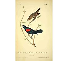 James Audubon Vector Rebuild - The Birds of America - From Drawings Made in the United States and Their Territories V 1-7 1840 - Red and Black Shouldered Marsh Blackbird Photographic Print