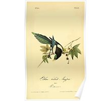 James Audubon Vector Rebuild - The Birds of America - From Drawings Made in the United States and Their Territories V 1-7 1840 - Yellow Billed Magpie Poster