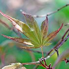 Japanese Maple leaf in spring  by Paul Kavsak