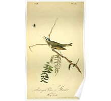 James Audubon Vector Rebuild - The Birds of America - From Drawings Made in the United States and Their Territories V 1-7 1840 - Red Eyed Vireo or Greenlet Poster