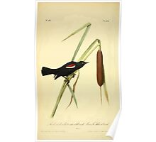 James Audubon Vector Rebuild - The Birds of America - From Drawings Made in the United States and Their Territories V 1-7 1840 - Red And White Shouldered Marsh Blackbird Poster