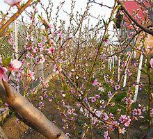 Peach in my garden by costy33