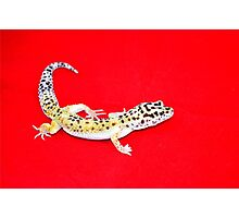 lounge lizard Photographic Print