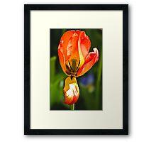 Tulip Show Framed Print