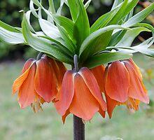Frittilaria Imperialis by 29Breizh33