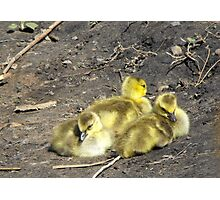 Canada Goslings Photographic Print