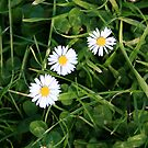 Daisies in the grass by CapturedbyC