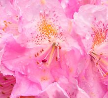 Morning Showers On Pink Rhododendron by daphsam
