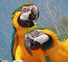 Parrots by franceslewis