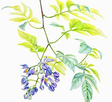 Potato Creeper Solanaceae botanic art  by Sarah Trett