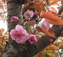 Cherry Tree, Pink Blossoms by LoneAngel