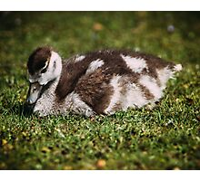 Young Baby Goose Photographic Print