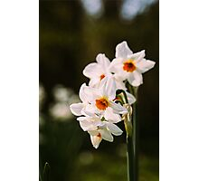 White Daffodil Flowers Photographic Print