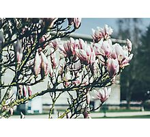 Blue Magnolia Tree Photographic Print