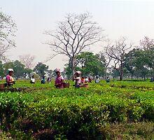Assamese tea pickers by John Mitchell