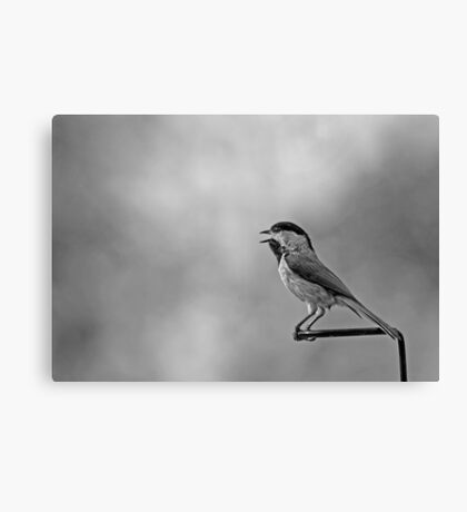 Singing Carolina Chickadee Canvas Print