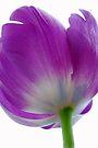 Perfect Tulip by Renee Hubbard Fine Art Photography