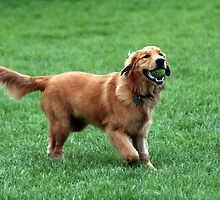 Furry Golden Retriever